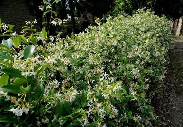 Même vue, mais davantage centrée sur le jasmin de la haie.