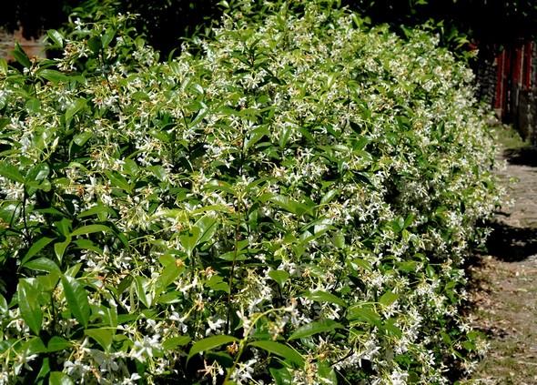 Haie massive de jasmin juste avant d'arriver au portail de notre maison.ZONE 1 sur le plan ci-dessous..