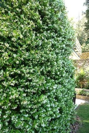 Ce massif  4  constitue un imposant mur végétal.