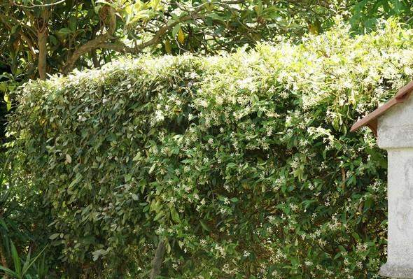 Le massif  5  est constitué par une haute haie de jasmin qui sépare notre propriété du jardin voisin, côté sud.