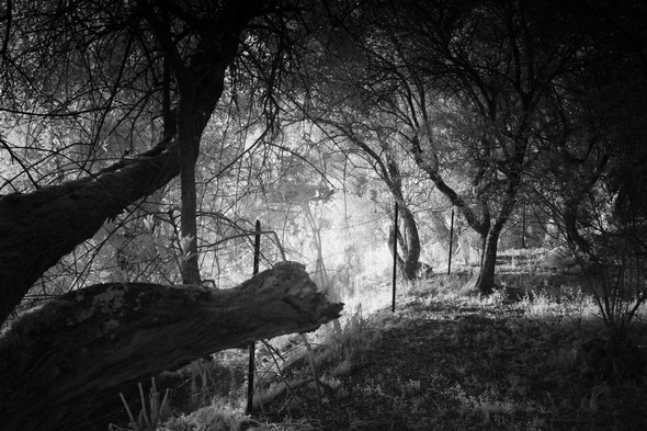 On approche de la limite ouest de l'oliveraie, en direction du soleil déclinant et de sa lumière...