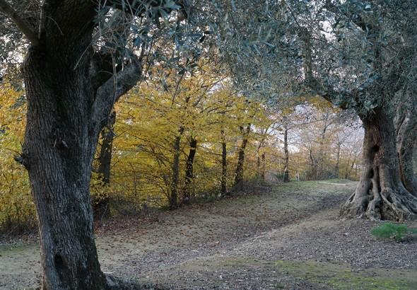 Le haut de la strada di San Salvatore.A gauche (côté lac), un rideau d'arbres aux feuilles jaunies.En haut sur la droite (côté oliveraie), le beau contraste avec les feuilles vert bleuté des oliviers aux troncs massifs.14/12/2015   -   16:11.