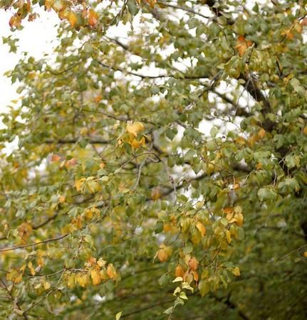 Strada di San Salvatore.Détail du feuillage des arbres situés du côté du lac Trasimène.Début de la mise en place des couleurs d'automne...