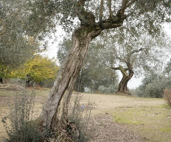 """Troncs plus ou moins """"torturés"""", bien visibles après nettoyage de la végétation de leur sous-bois.Oliveraie située au sommet de l'Isola Maggiore."""