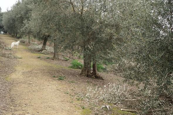 La strada panoramica del Molino.Coin supérieur gauche, ma chienne Aïka (Berger Suisse Blanc).A droite du chemin, une portion d'oliveraie entretenue par les insulaires.9/12/2015  -  11:32