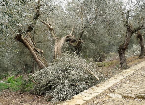 Taille des oliviers après la récolte.