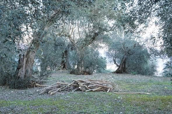 Les parties plus consistantes des branches sont mises à part pour constituer du bois de chauffage.