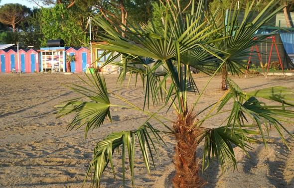 Une nouveauté :  la plantation de petits palmiers.