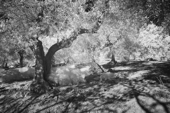 Depuis la strada di San Salvatore, coup d'oeil sur l'oliverai qui la borde du côté est.18/03/2016 - 18:22