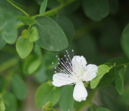 Fleur des câpriers de notre entrée.