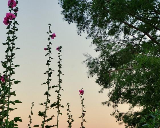 Les roses trémières transplantées par Fabienne.Rendu réel / naturel.20/07/2016 - 05:52