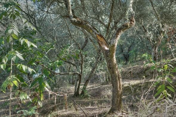 L'oliveraie, à gauche en montant.
