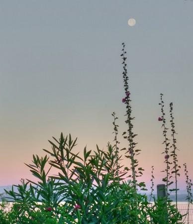Haie rose trémière et pleine lune.Rendu presque impressionniste.21/07/2016 - 05:52