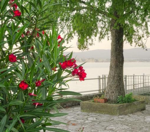 Fleurs à l'extrémité de notre jardin au bord du lac Trasimène.Au fond, la rive du camping Tuoro-Navaccia.30 juillet 2016  -  06:16