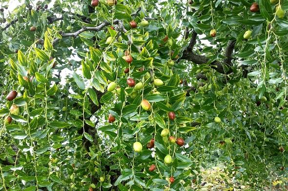 Un giuggiolo et ses fruits, plus ou moins mûrs.