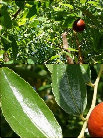 Giuggiola, le fruit de cet arbuste fruitier .Une fois mûr il est bien visible.