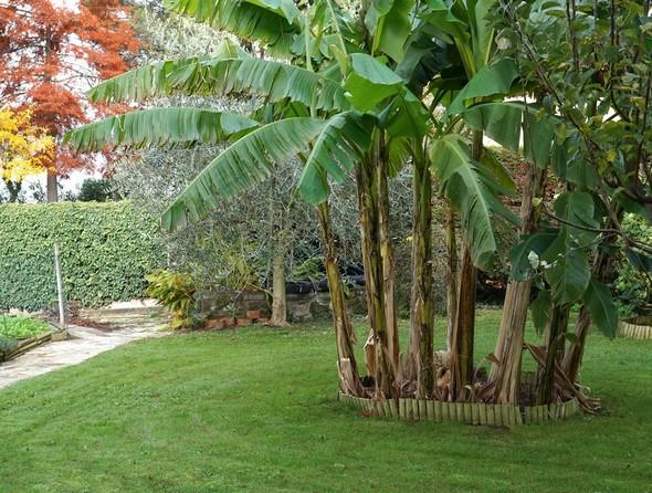"""Gros plan sur le bananier que je rêvais tellement d'avoir un jour dans mon jardin. Des """"isolani"""" avaient engagé des paris pour savoir combien de temps il survivrait à cet endroit..."""