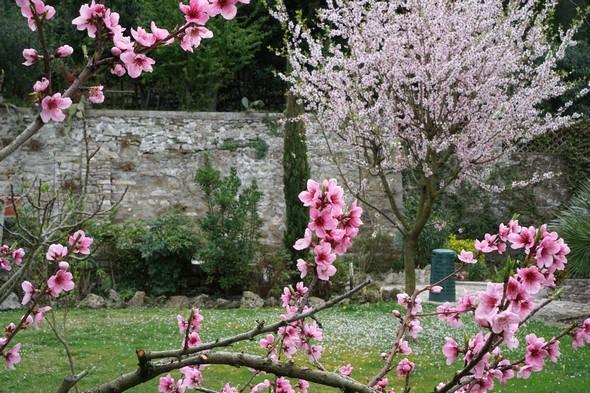Notre verger.Au fond, l'amandier en fleurs.23/03/2017