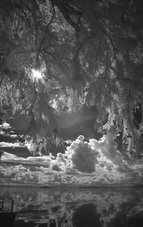 Idem.Vue prise sous la frondaison dans de nos grands pins du Mississippi.