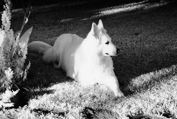 Berger Suisse Blanc.<br />Ma chienne Aïka attend patiemment que je me décide à aller me promener avec elle sur l'Isola Maggiore...