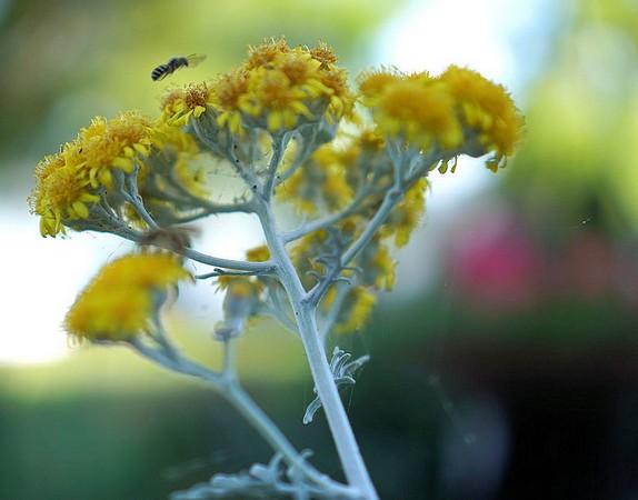 Vue de profil d'une fleur.Un insecte sur le point d'y atterrir !