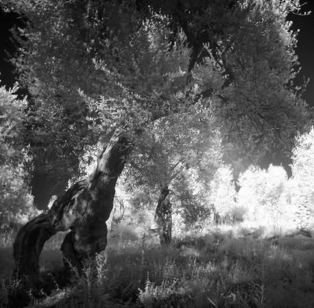 Idem.Vue rapprochée.Un olivier au tronc particulièrement torturé !