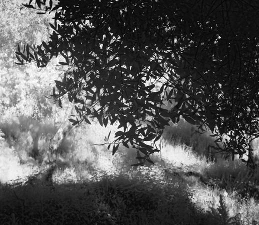 """Début de l'étroit sentier , non entretenu, appelé """"stradelle delle mura"""".Il part vers la droite pour aller rejoindre le mur d'enceinte.Comme il n'est plus entretenu, il est presque dissimulé par la végétation."""