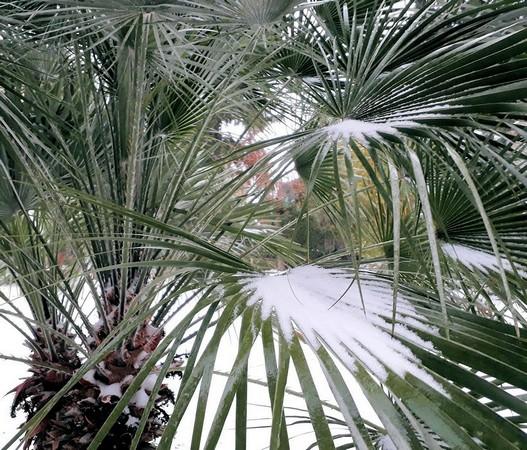 Neige et palmier, quelles épousailles !